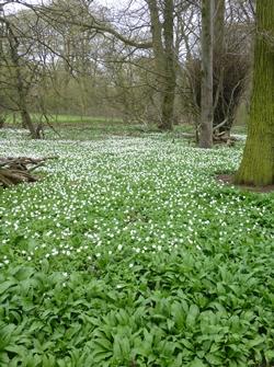 A field of wild galic © essentially-england.com