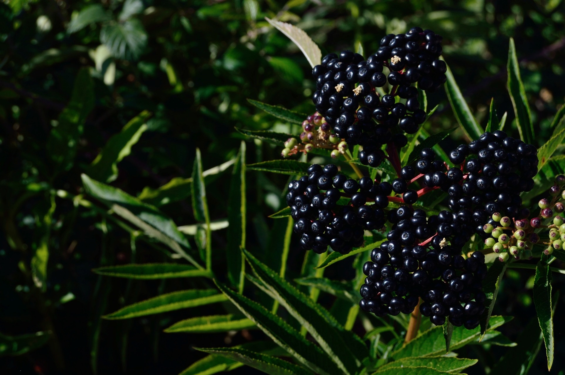 Ripe Blackberries just right for a Blackberry Crumble | apolo12 pixabay.com