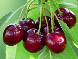 Morello Cherries for a very grown up pudding