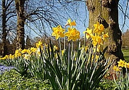Daffodils by Nick Pye